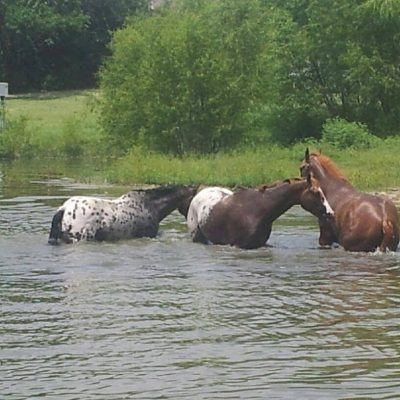 Three horses in a pond two appaloosas and one chestnut on a sunny day