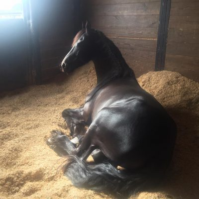 A Friesian horse takes a nap in his stall banked with clean shavings by a window