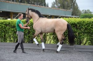 Trainer in green shirt and grey breeches on the ground facing a buckskin colored horse with white leg boots and a bridle performing the movement piaffe in hand in front of a green hedge for Claudio Olivera Dressage Clinic