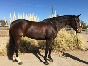 Dark bay horse with two white hind legs in a bridle stands on concrete in front of pampas grass on a sunny day for Sales and Leasing