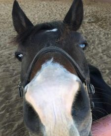 Bay horse head with white nose and wearing a halter reaching towards camera for Horse Boarding