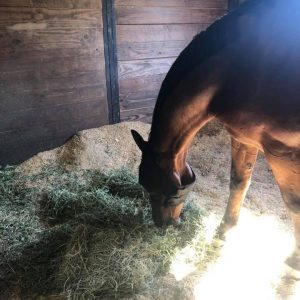 Bay horse in a clean stall eating his hay for Horse Boarding Facility